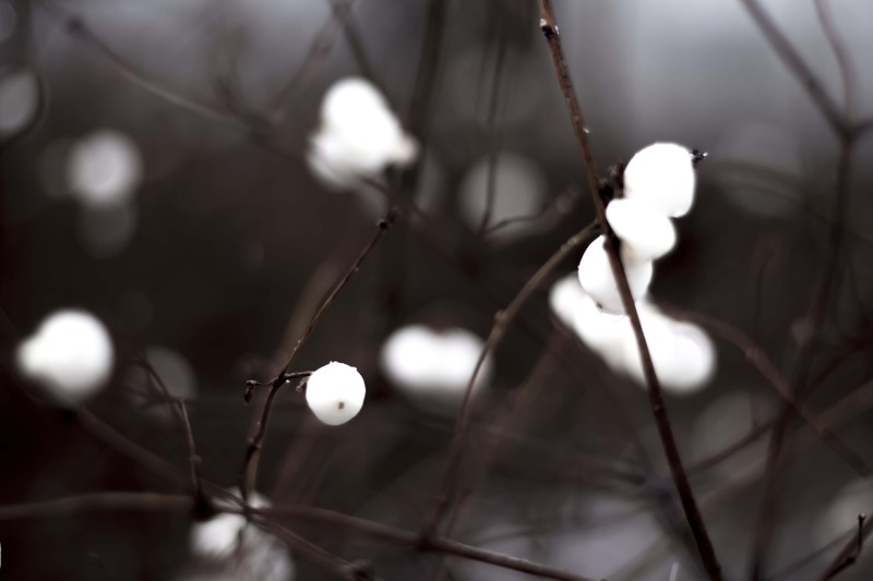 white berries on a winter branch