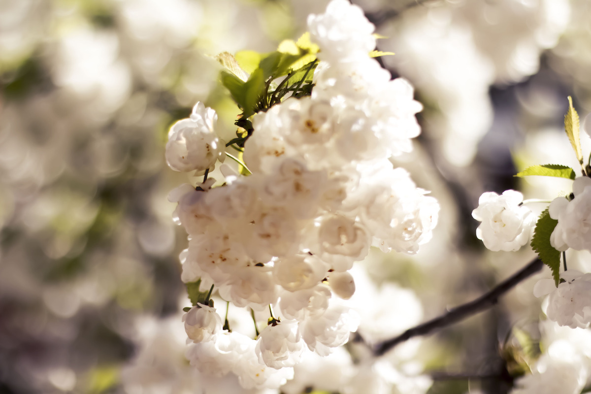 white flowers blooming on Pear tree