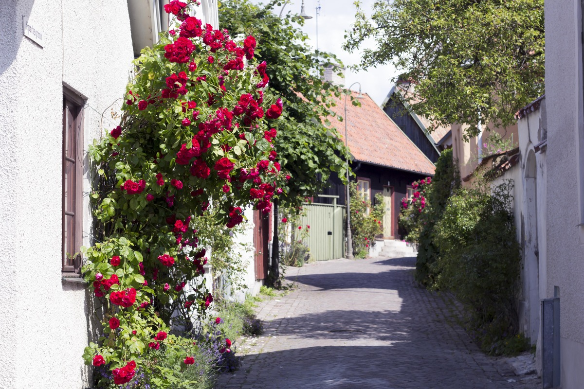 Alley in Visby with lots of roses growing on the walls