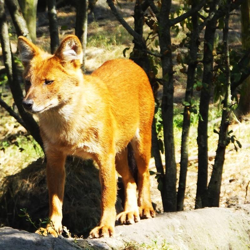 fox at Kolmarden