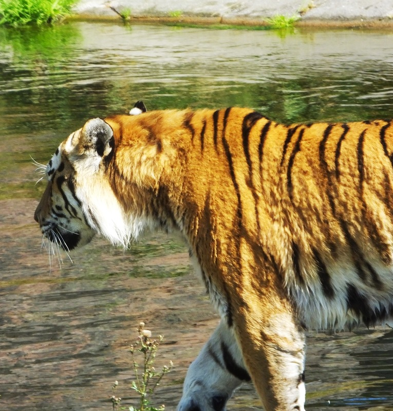 tiger at kolmarden